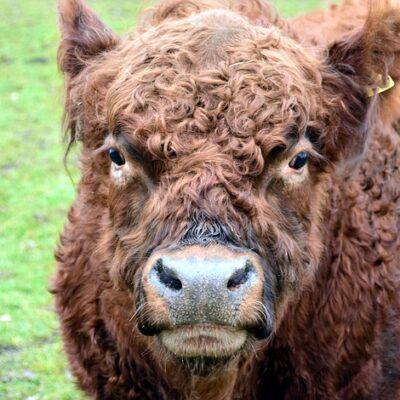 highland-beef-2131800_640